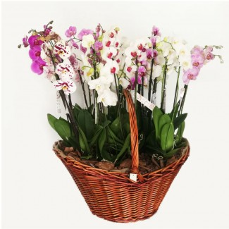 Large orchid arrangement Basket